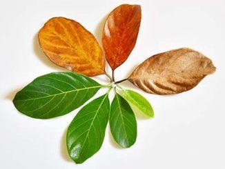 Увядшие листочки
